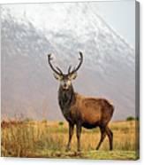 Scottish Red Deer Stag - Glencoe-2 Canvas Print