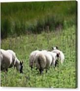 Scottish Sheep Canvas Print