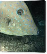 Scrawled Filefish Profile, Alutera Canvas Print