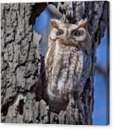 Screech Owl #1 Canvas Print