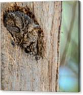 Screech Owl In A Tree Canvas Print