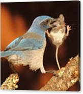 Scrub Jay With Jumping Mouse In Grasp Canvas Print