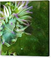 Sea Anemone And Kelp  Canvas Print