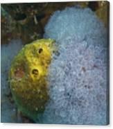 Sea Anemone On Pedernales Wreck In Aruba Canvas Print