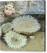 Sea Anemones Canvas Print