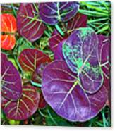 Sea Grape  Canvas Print
