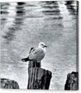 Sea Gull Black And White Canvas Print