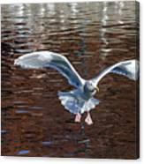 Sea Gull Landing Canvas Print