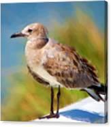 Sea Gull Of Boca Grande Canvas Print