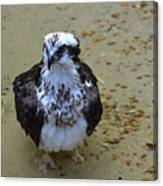 Sea Hawk Standing In Shallow Water Canvas Print
