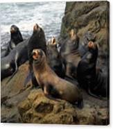 Sea Lion Chorus Canvas Print