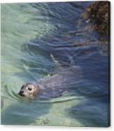 Sea Lion In Clear Blue Waters Canvas Print
