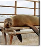 sea lion on a bench in Puerto Ayora, Santa Cruz Island, Galapagos Canvas Print