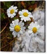 Sea Mayweed Canvas Print