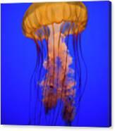 Sea Nettle Jellyfish (chrysaora Quinquecirrha) In An Aquarium Canvas Print