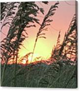 Sea Oats At Sunset Canvas Print