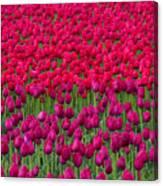 Sea Of Tulips Canvas Print