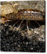 Isopod Canvas Print