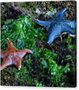Sea Star Canvas Print