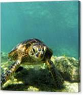 Sea Turtle #3 Canvas Print