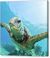 Sea Turtle, Hawaii Canvas Print