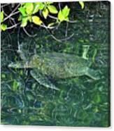 Sea Turtle In Galapagos Lagoon Canvas Print