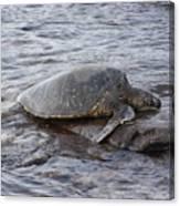 Sea Turtle On Rock Canvas Print