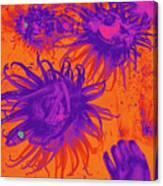 Sea Urchin 14 Canvas Print