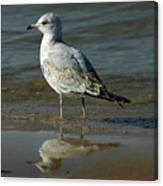 Seagull And His Reflection Canvas Print