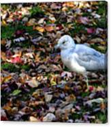 Seagull In The Fallen Leaves Canvas Print