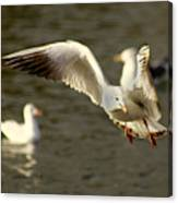 Seagull Manoeuvers Canvas Print