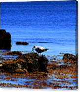 Seagull With Crab Canvas Print