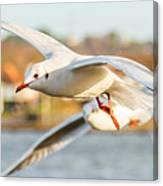 Seagulls In The Air Canvas Print