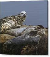 Seal Of Lover's Point Beach Canvas Print