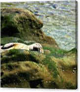 Seal On The Rocks Canvas Print