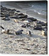 Seals, Seals, And More Seals Canvas Print