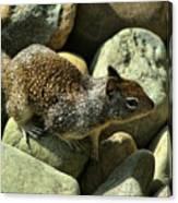 Seaside Ground Squirrel Canvas Print