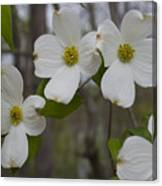 Season Of Dogwood Canvas Print