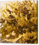 Seaweed In The Sand Canvas Print