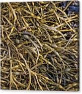 Seaweed On The Coast Of Iceland Canvas Print