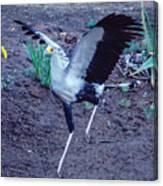Secretary Bird Running Canvas Print
