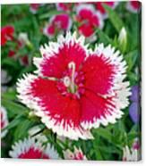 Sedona Dianthus Canvas Print