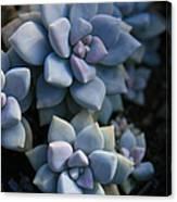 Sedum Clavatum Beautiful Cultivated Stonecrop Canvas Print