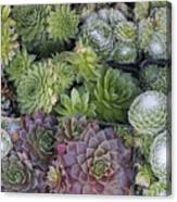 Sedum Plants Used As Green Roof Canvas Print