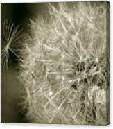 Seedy Dandelion Canvas Print