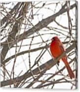 Seeing Red - Northern Cardinal - Cardinalis Cardinalis Canvas Print