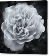 Selenium White Rose Canvas Print
