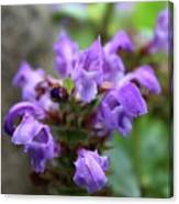 Selfheal Up Close Canvas Print