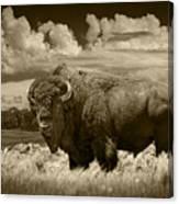 Sepia Toned Photograph Of An American Buffalo Canvas Print