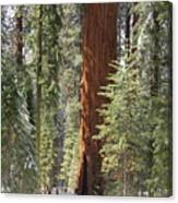 Sequoia General Sherman Canvas Print